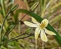 Triteleia ixioides ssp scabra 4.jpg