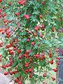 Tropaeolum tricolor - Flickr - peganum (1).jpg