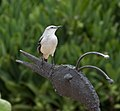 Tropical Mockingbird 5 (4358525232).jpg