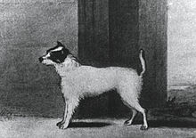 """A black and white drawing of a white dog with black markings on the face. The image is in profile with the dog facing left."""