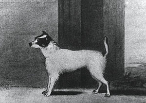 Jack Russell Terrier - A drawing of Trump, the dog purchased by the Reverend John Russell.