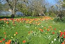 Tulpen im botanischen Garten