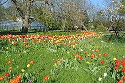 Tulips at Lund's Botanical Garden.JPG