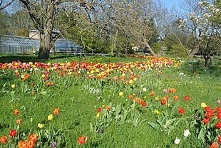 Tulips at Lund's Botanical Garden.JPG