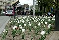 Tulips in the streets, Yerevan.jpg