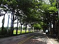 Tunnel of Terminalia mantaly trees on Minzhu Street.jpg
