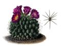 Turbinicarpus horripilus T6.png