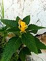 Turnera ulmifolia (Passifloraceae).jpg