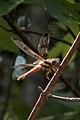 Twelve-spotted Skimmer (Libellula pulchella) - Guelph, Ontario.jpg