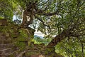 Twisted Plumeria tree trunk overgrowing the steep stone stairs of Wat Phou temple, Champasak, Laos.jpg