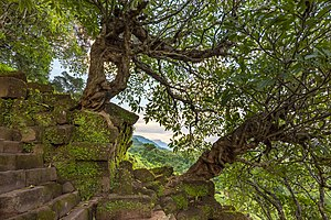 Twisted Plumeria tree trunk overgrowing the steep stone stairs of Wat Phou temple, Champasak, Laos.jpg