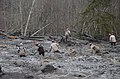 U.S. Airmen with the Washington Air National Guard wade through mud and debris looking for signs of missing persons in Oso, Wash., March 27, 2014 140327-Z-ZZ999-008.jpg