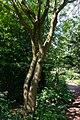Ulmus lamellosa Hebei Iep.jpg