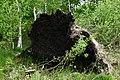 Umgefallener Baum im Nienwohlder Moor.jpg