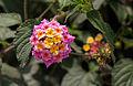 Unidentified flower, Bandungan, Semarang Regency, 2014-09-30 03.jpg