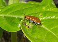 Unidentified insect, Sambisari Temple complex 01.jpg