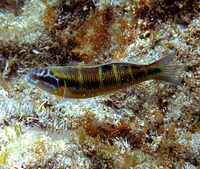 Unidentified wrasse