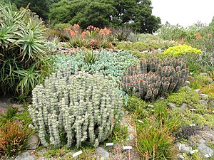 University of California Botanical Garden - Cactus garden specimens.