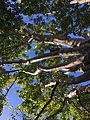 Urban Trees, Dublin, CA 1 2016-09-26.jpg