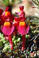 Utricularia menziesii 1.jpg