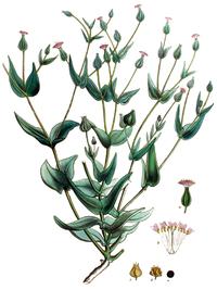 Vaccaria hispanica - Flora Batava, V18.png