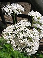 Valeriana officinalis (Flower) 2.jpg