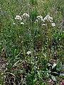 Valeriana tuberosa 21(1). Khortitsa.jpg
