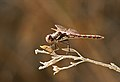 Variegated Meadowhawk (Sympetrum corruptum) dragonfly, Male (4067336886).jpg