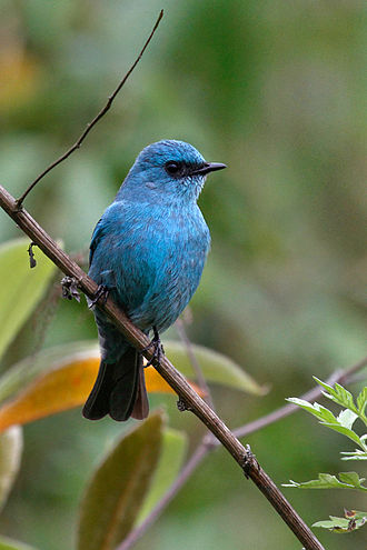 Verditer flycatcher - Adult at Eaglenest WLS Arunachal Pradesh, India.