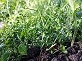 Veronica serpyllifolia subsp. serpyllifolia sl1.jpg