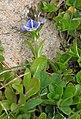 Veronica serpyllifolia subsp humifusa 2 RF.jpg