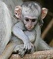 Vervet Monkey (Chlorocebus pygerythrus) young ... (46383851005).jpg