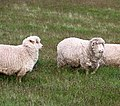 Very Woolly Sheep (30561873573).jpg