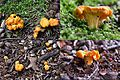 Very tiny Cantharellus at the parking place Warnsborn - panoramio.jpg