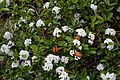Viburnum × burkwoodii in Hilltop Garden at RHS Garden Hyde Hall, Essex, England 02.jpg