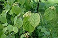 Viburnum lobophyllum kz1.jpg