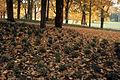 Viburnum opulus nana WPC.jpg