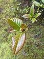 Viburnum prunifolium 2017-04-30 8796.jpg