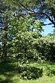 Viburnum setigerum 'Aurantiacum' - Arnold Arboretum - DSC06836.JPG