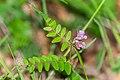 Vicia sepium in Aveyron (3).jpg