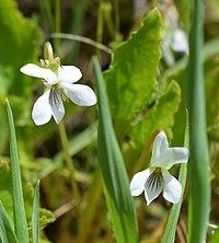 Viola blanda UMFS.jpg