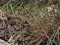 Vipera ammodytes - poskok 1.jpg