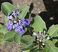 Vitex trifolia subsp. litoralis (flower s2).jpg