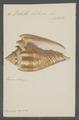 Voluta hebraea - - Print - Iconographia Zoologica - Special Collections University of Amsterdam - UBAINV0274 087 04 0015.tif