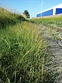 Vulpia myuros sl1.jpg