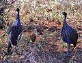 Vulturine Guineafowls (Acryllium vulturinum) (7662585274).jpg