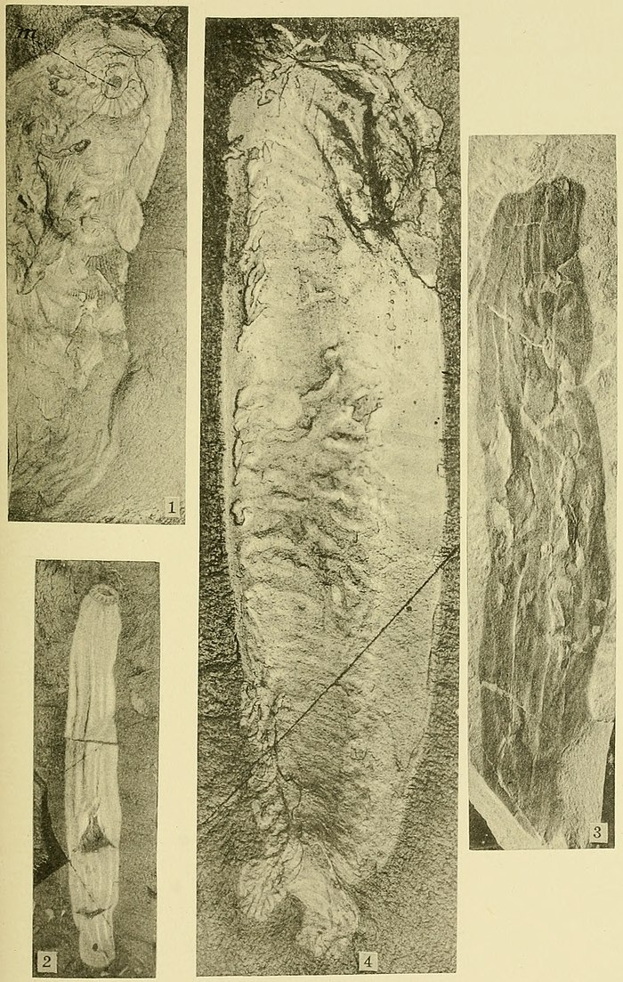Walcott Cambrian Geology and Paleontology II plate 13.jpg