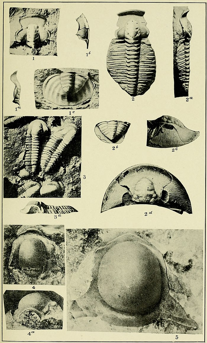 Walcott Cambrian Geology and Paleontology II plate 17.jpg