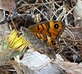 Wall Brown. Lasiommata megera - Flickr - gailhampshire (3).jpg