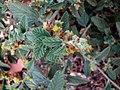 Waltheria indica var. americana (5002209496).jpg